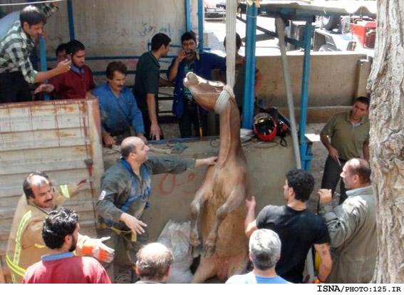 نجات گاو 350 كيلويي از چاه
